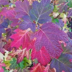 Oak leaf hydrangea in autumn colour Western Plant Nursery